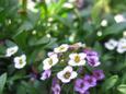01_春の花《アリッサム》
